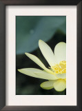 Close-Up of American Lotus Flower, Welder Wildlife Refuge, Rockport, Texas, USA Prints by Rolf Nussbaumer