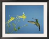 Broad Billed Hummingbird, Male Feeding on Longspur Columbine Flower, Arizona, USA Art by Rolf Nussbaumer