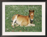 Mustang / Wild Horse Foal, Pryor Mountains, Montana, USA Art by Lynn M. Stone