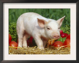 Domsetic Piglet with Vegetables, USA Poster by Lynn M. Stone