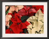 Various Poinsettias in Bloom Print by De Cuveland
