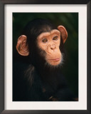 Baby Chimpanzee Portrait, from Central Africa Posters by Pete Oxford