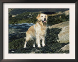 Golden Retriever Dog on Coast, Maine, USA Print by Lynn M. Stone