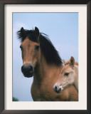 Domestic Horse, Dulmen Pony, Mare with Foal, Europe Prints by  Reinhard