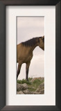 Mustang / Wild Horse Red Dun Stallion Sniffing Mare's Noses, Montana, USA Pryor Poster by Carol Walker