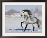Grey Andalusian Stallion Trotting in Snow, Longmont, Colorado, USA Prints by Carol Walker