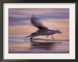 Black Skimmer Skimming at Sunset, Florida, USA Prints by Rolf Nussbaumer