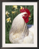 Domestic Chicken, Rooster Amongst Daffodils, USA Poster by Lynn M. Stone