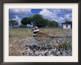 Killdeer Plover, Shading Eggs on Nest from the Sun, Welder Wildlife Refuge, Sinton, Texas, USA Posters by Rolf Nussbaumer