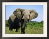 African Elephant Grazing, Chobe National Park Botswana Print by Tony Heald