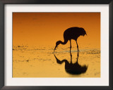 Sandhill Crane, Feeding at Sunset, Florida, USA Art by Lynn M. Stone