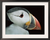 Puffin Portrait, Runde, Norway Art by Bence Mate