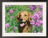 Golden Retriever Amongst Meadow Flowers, USA Posters by Lynn M. Stone