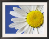 Marguerite / Ox Eye Daisy (Leucanthemum Vulgare) UK Posters by Pete Cairns