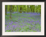 Bluebells Flowering in Beech Wood Perthshire, Scotland, UK Prints by Pete Cairns