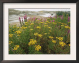 Common Tansy in Flower, Sweden Prints by Staffan Widstrand