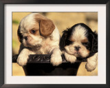 Domestic Dogs, Two King Charles Cavalier Spaniel Puppies in Pot Prints by Adriano Bacchella