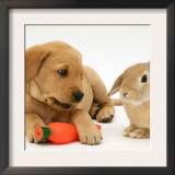 Yellow Labrador Retriever Puppy with Squeaky Toy-Carrot and Young Sandy Lop Rabbit Print by Jane Burton