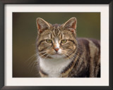 Domestic Cat (Felis Catus), Wester Ross, Scotland Poster by Niall Benvie