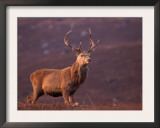 Red Deer Stag Portrait, Scotland, Inverness-Shire Posters by Niall Benvie
