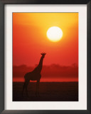 Giraffe Silhouette at Sunset, Namibia, Etosha National Park Prints by Tony Heald
