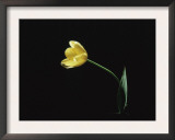 Yellow Tulip Flower, UK Art by Jane Burton