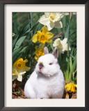 Netherland Dwarf Dometic Rabbit Amongst Daffodils, USA Prints by Lynn M. Stone