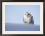 Female Snowy Owl Against Sky, Scotland, UK Prints by Niall Benvie
