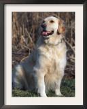 Golden Retriever Breed, USA Posters by Lynn M. Stone