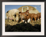 Free Range Organic Pig Sow with Piglets, Wiltshire, UK Prints by T.j. Rich