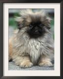 Pekingese Puppy Portrait Prints by Adriano Bacchella
