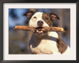 Staffordshire Bull Terrier Carrying Stick in Its Mouth Posters by Adriano Bacchella