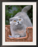 Scottish Fold Blue-Cream Cat Posters by De Meester