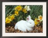 Baby Netherland Dwarf Rabbit, Amongst Daffodils, USA Posters by Lynn M. Stone