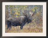 Moose Bull in Snow Storm with Aspen Trees in Background, Grand Teton National Park, Wyoming, USA Poster by Rolf Nussbaumer