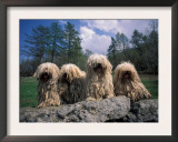 Domestic Dogs, Four Pulik / Hungarian Water Dogs Sitting Together on a Rock Prints by Adriano Bacchella