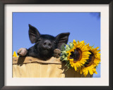 Piglet (Mixed Breed) in Barrel with Sunflower Prints by Lynn M. Stone