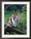 Domestic Cat Watching for Birds, Europe, Looking Up Poster by  Reinhard