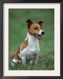 Jack Russell Terrier Prints by Petra Wegner