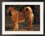 Shar Pei Portrait Showing the Curled Tail and Wrinkles on the Back Art by Adriano Bacchella