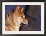 Shiba Inu Profile Posters by Adriano Bacchella