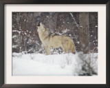 Portrait of Grey Wolf Howling in the Snow Posters by Lynn M. Stone