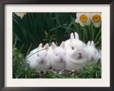 Family of Albino Netherland Dwarf Rabbits, USA Prints by Lynn M. Stone