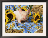 Domestic Piglet and Sunflowers, USA Prints by Lynn M. Stone