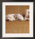 West Highland Terrier / Westie Family Sitting on Couch, One Peeping Our from Under the Couch Prints by Adriano Bacchella
