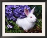 Domestic New Zealand Rabbit, Amongst Hydrangea, USA Print by Lynn M. Stone