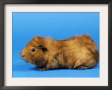 Red Abyssinian Guinea Pig Prints by Petra Wegner