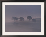 Scots Pine Trees in Mist, Abernethy Forest, Inverness-Shire, Scotland, UK Posters by Niall Benvie