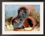 Long-Tailed Chinchillas at Play Posters by  Steimer