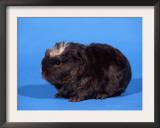 Merino Guinea Pig Prints by Petra Wegner